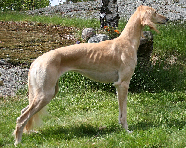Aisha Av All Sighthounds