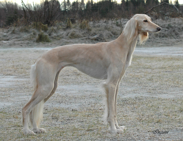Akira Av All Sighthounds
